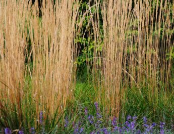 growing feather reed grass