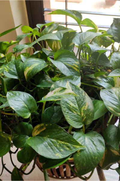 pothos - devils ivy