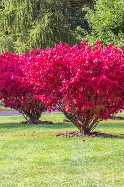 growing burning bushes