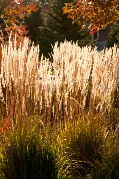 feather reed grasses