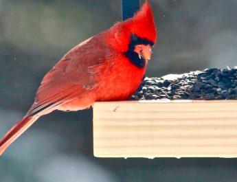 attracting cardinals