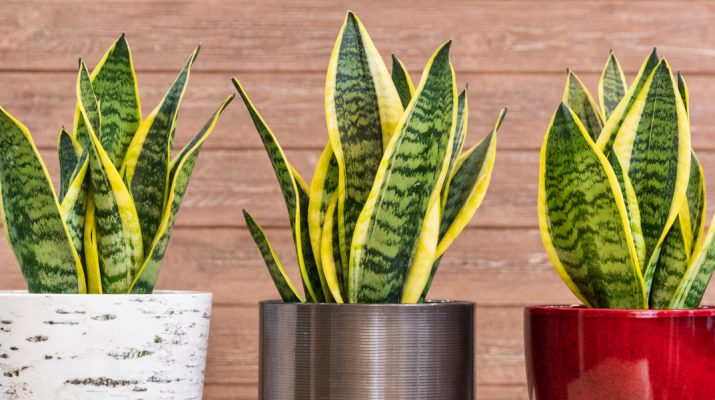 how to grow snake plant