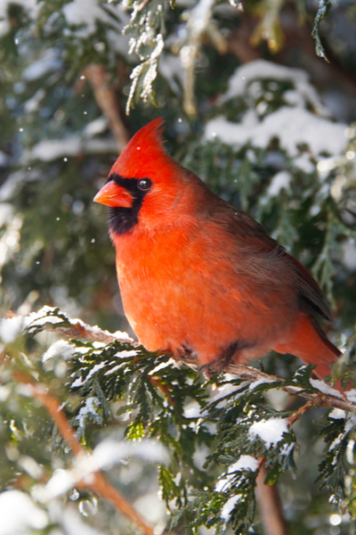 feeding cardinals in the winter