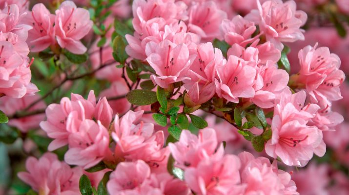 how to grow azaleas