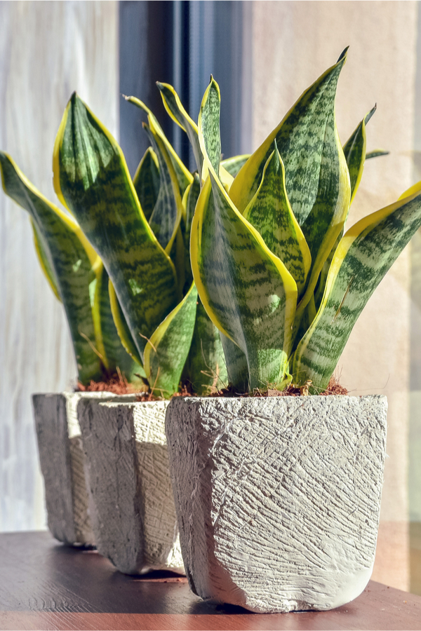 growing snake plant