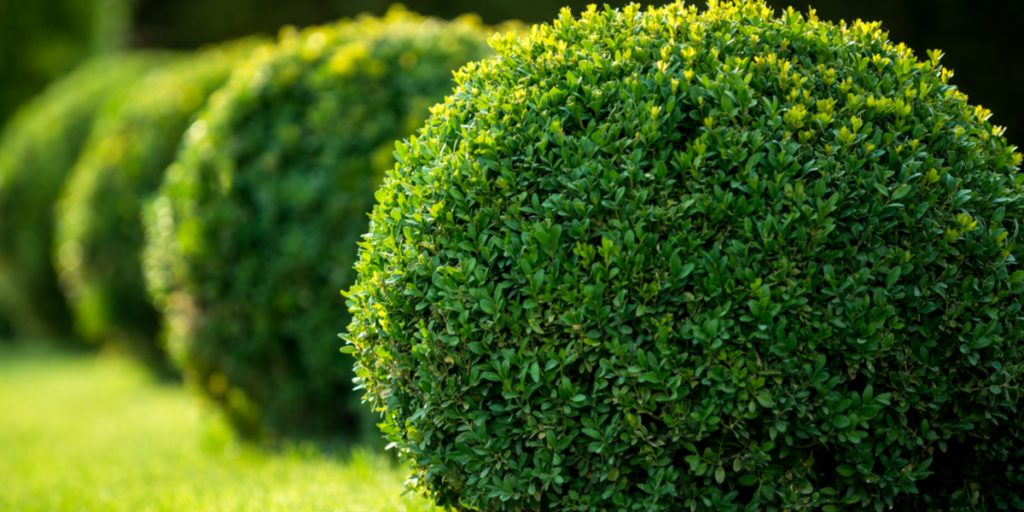 how to plant and grow boxwoods