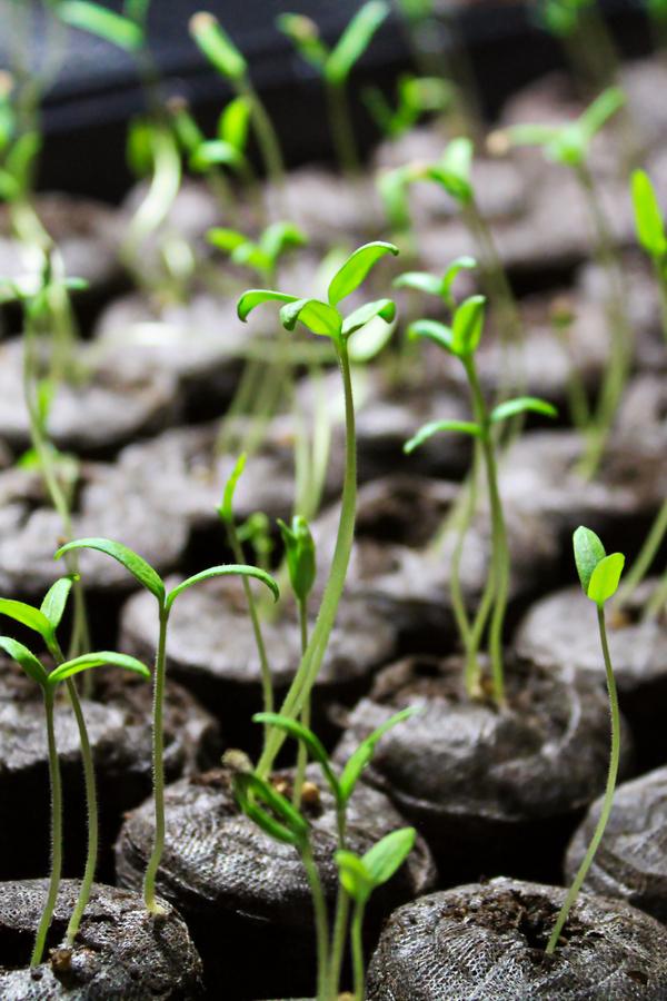 window seedlings