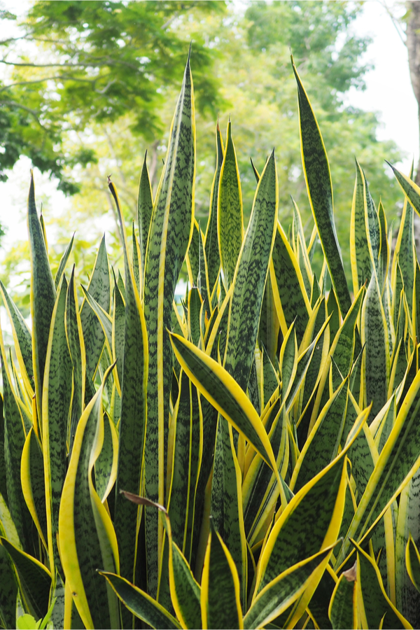 growing snake plant outdoors