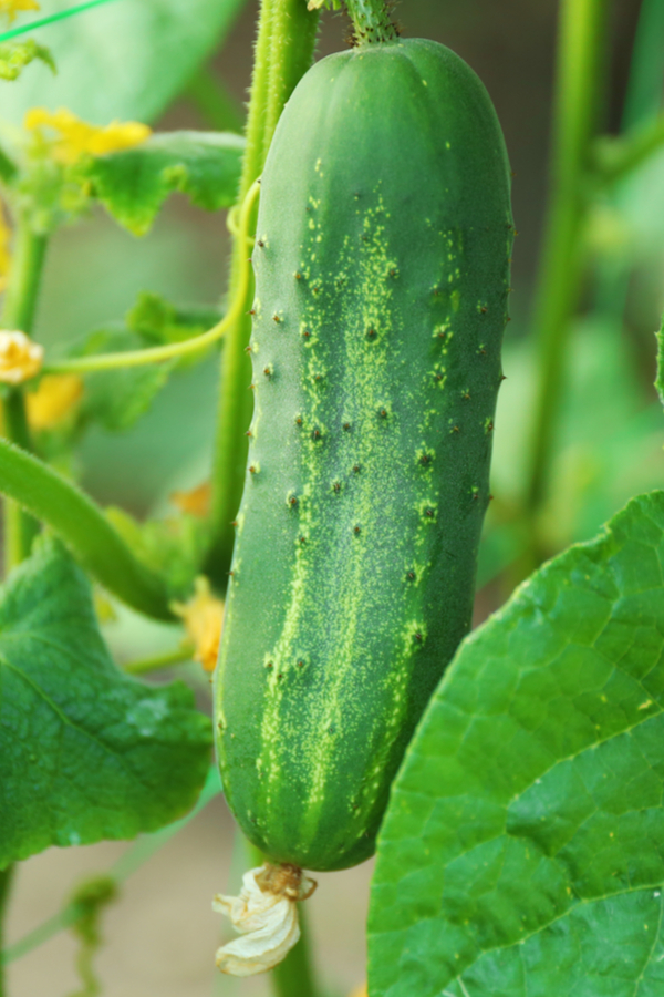 how to grow cucumbers - pickling cucumbers