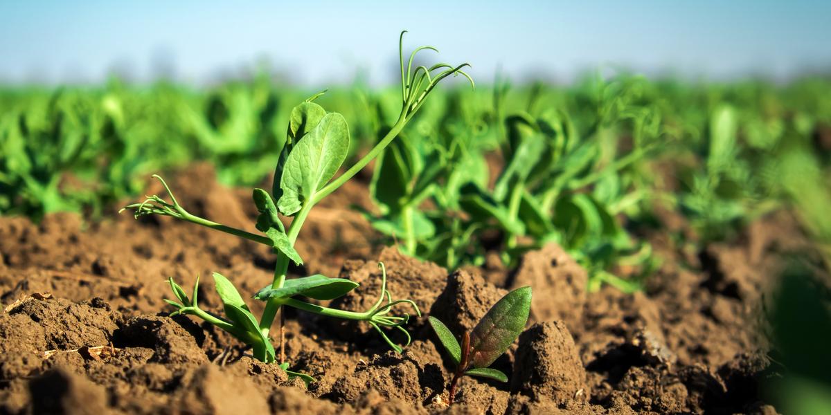 planting spring green manure crops