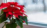 How To Keep Your Poinsettia Plants Alive After They Finish Blooming