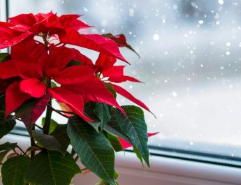 how to care for poinsettias