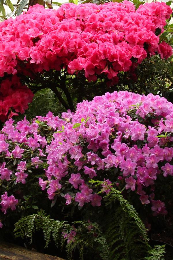 shade with azaleas
