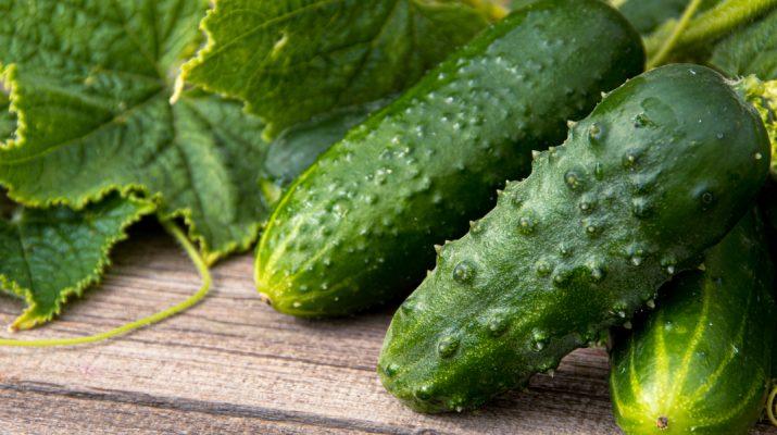 growing cucumbers
