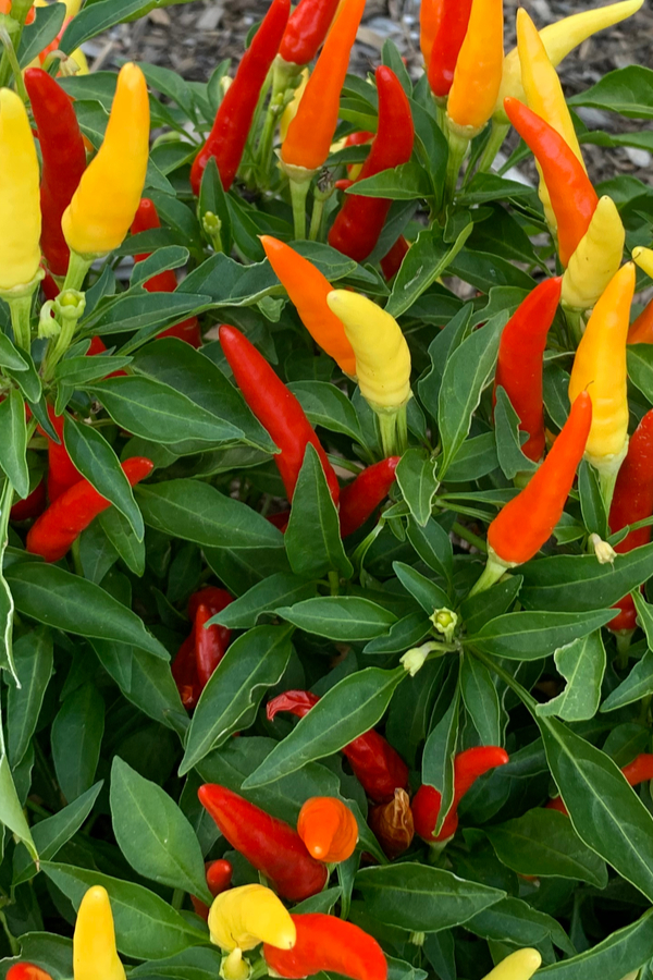grow ornamental peppers