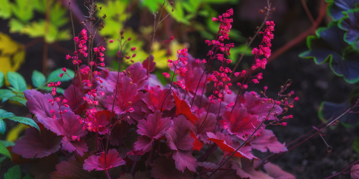 coral bells planting