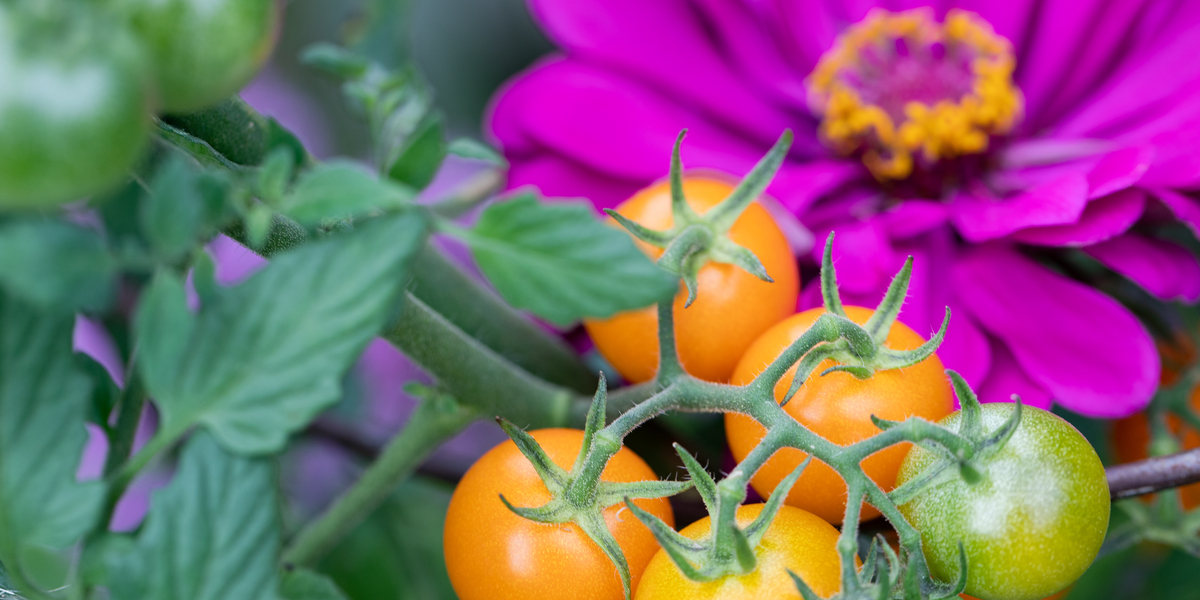 companion planting in tomatoes
