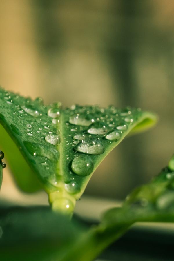dew on cucumber plants
