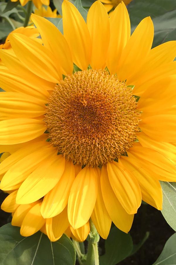 mammoth grey sunflowers