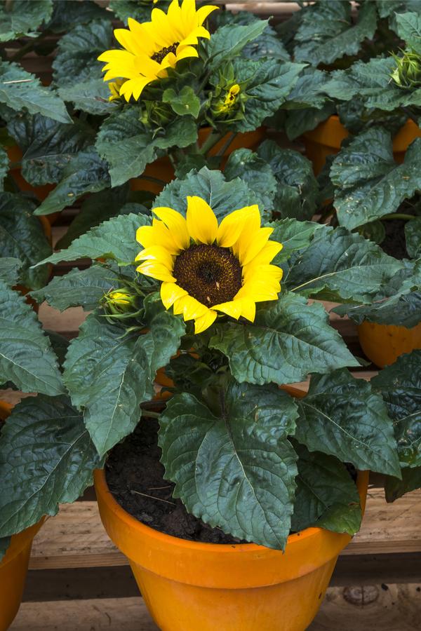 pottes sunflowers