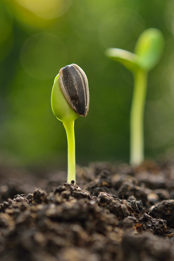 planting and growing sunflower seeds