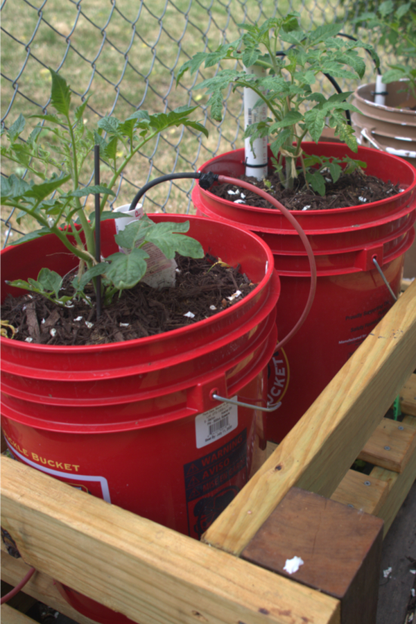 Growing in 5 gallon buckets