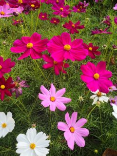 growing cosmos