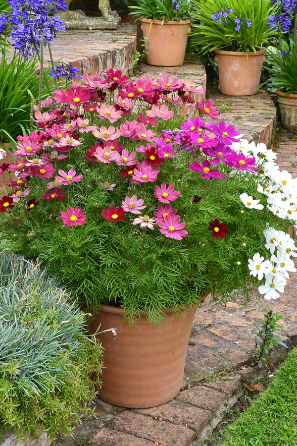 growing cosmos in containers