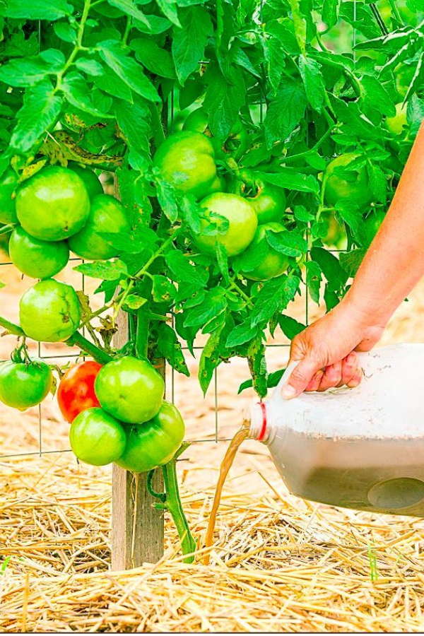 fertilizing tomatoes with compost tea