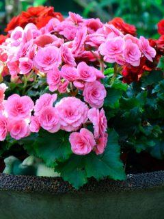 keep begonias blooming