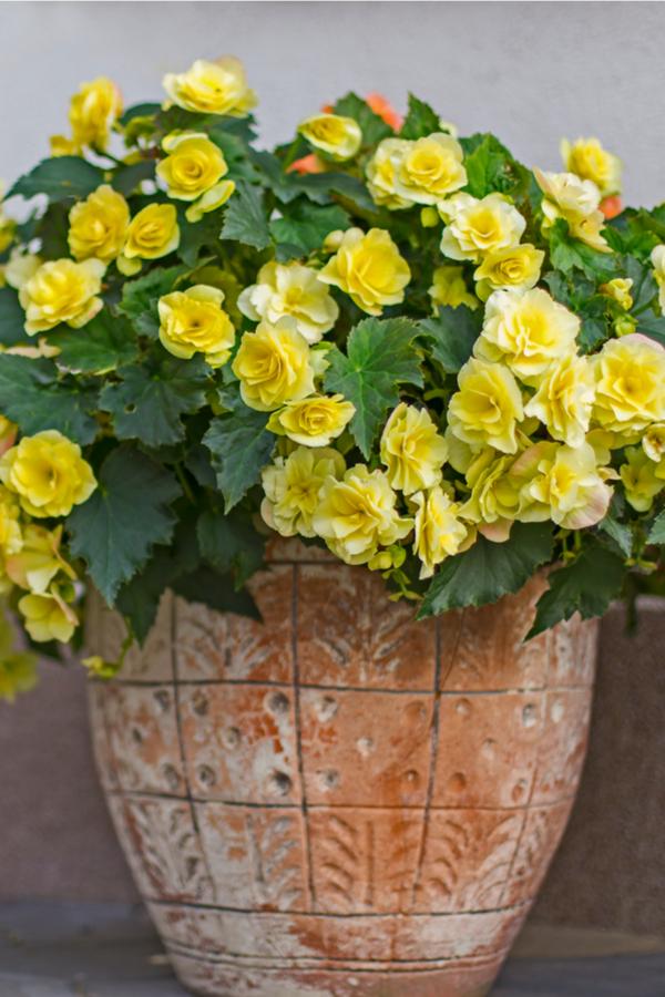 begonias in flower pots