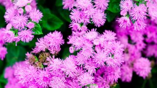 how to grow ageratum