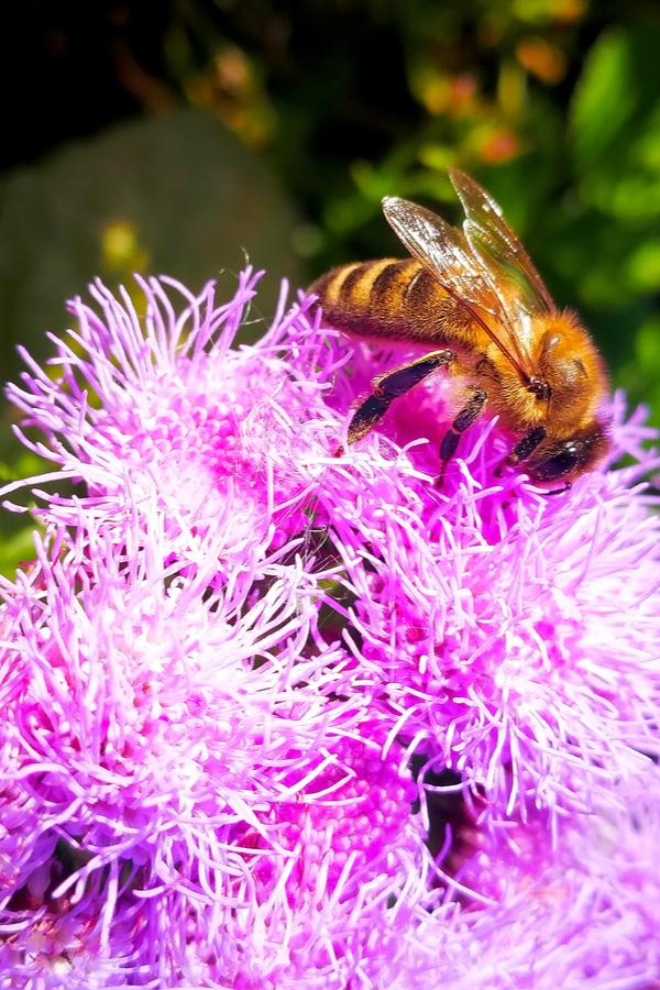 ageraetum - pollinator plant