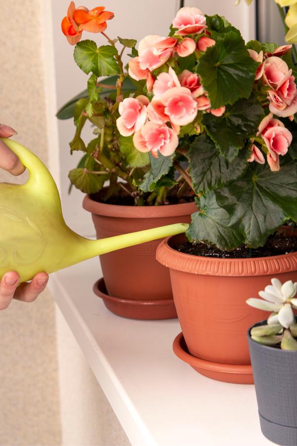 watering begonias