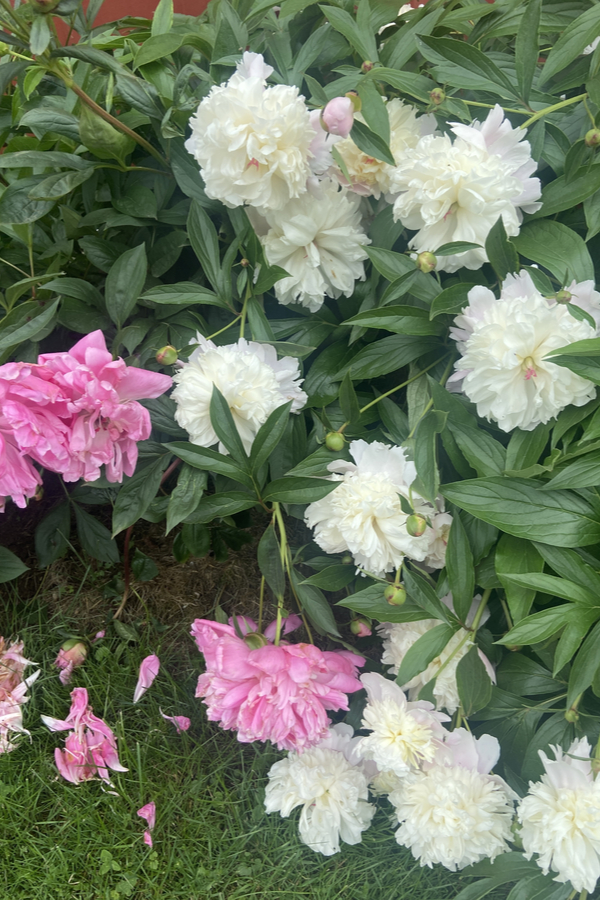 peonies after they bloom