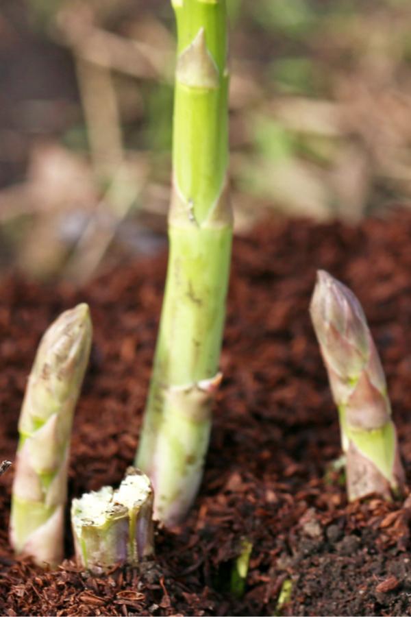 harvesting asparagus plants