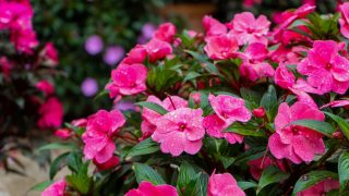 how to keep impatiens blooming