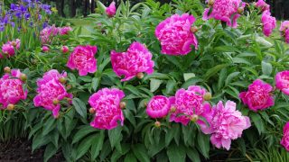 what to do with peony bushes after they bloom
