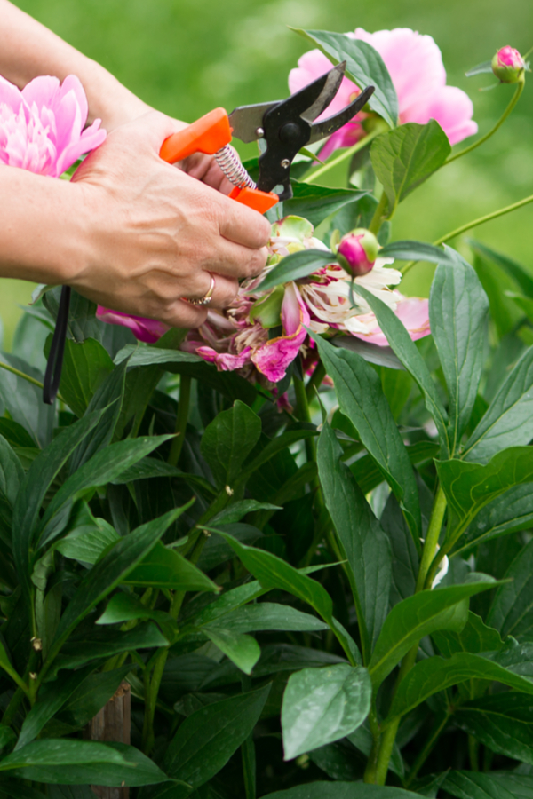 peonies after they bloom - cutting back