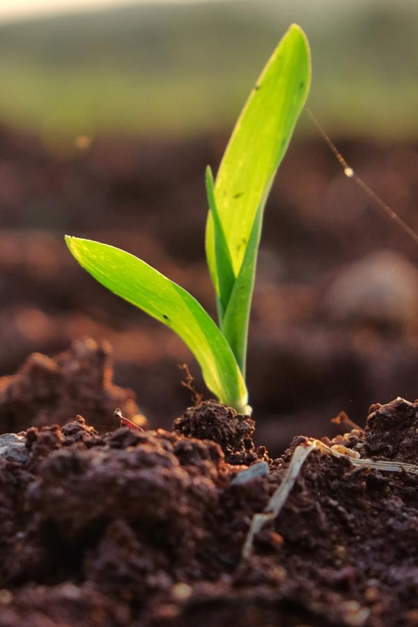 compost seedlings