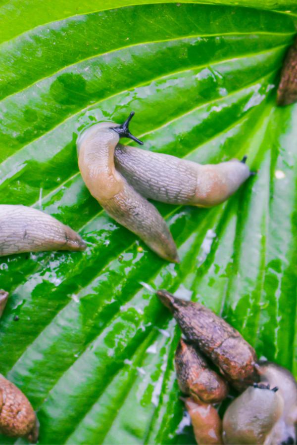 slugs on leaves of hosta