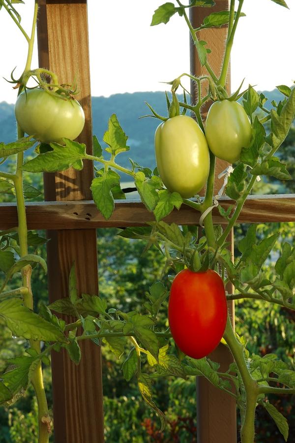 how to tie up tomato plants