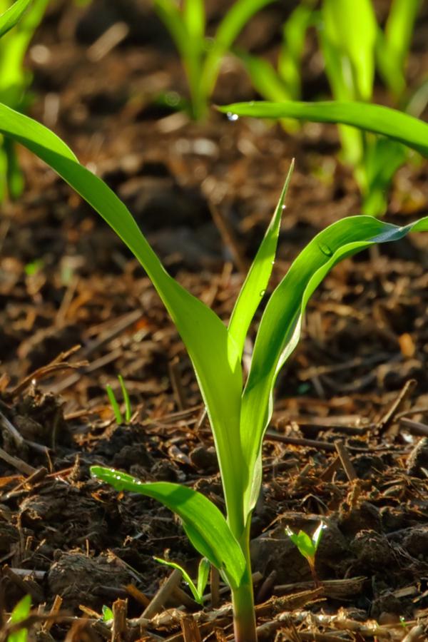 fertilizing young corn