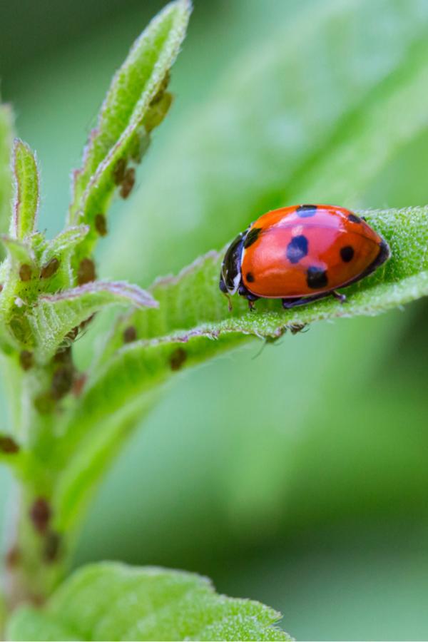 Apbids and lady bugs