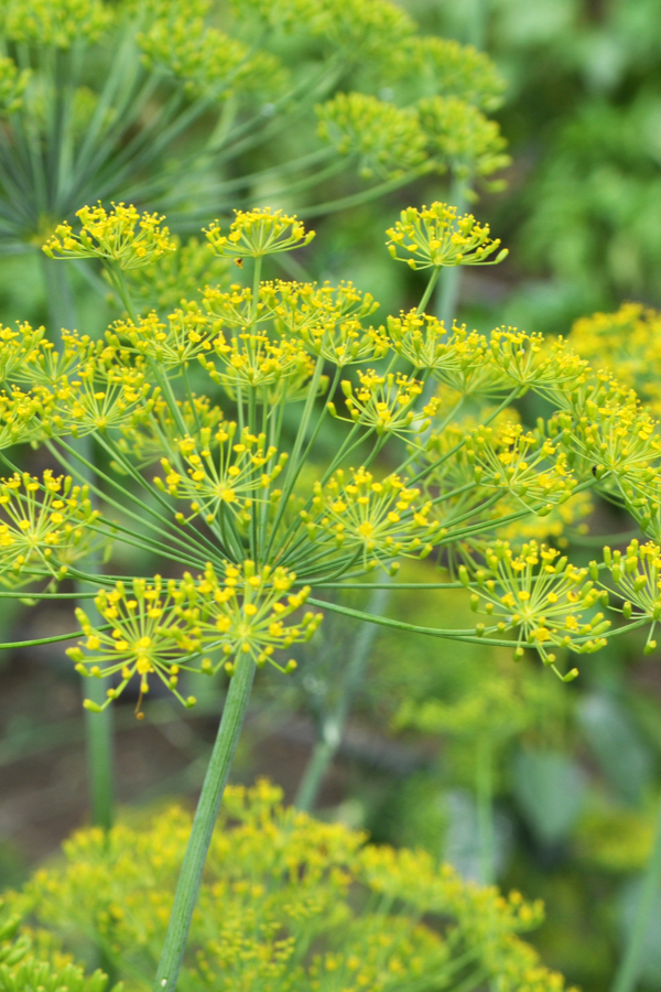dill to stop aphids
