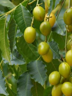 how to use neem oil