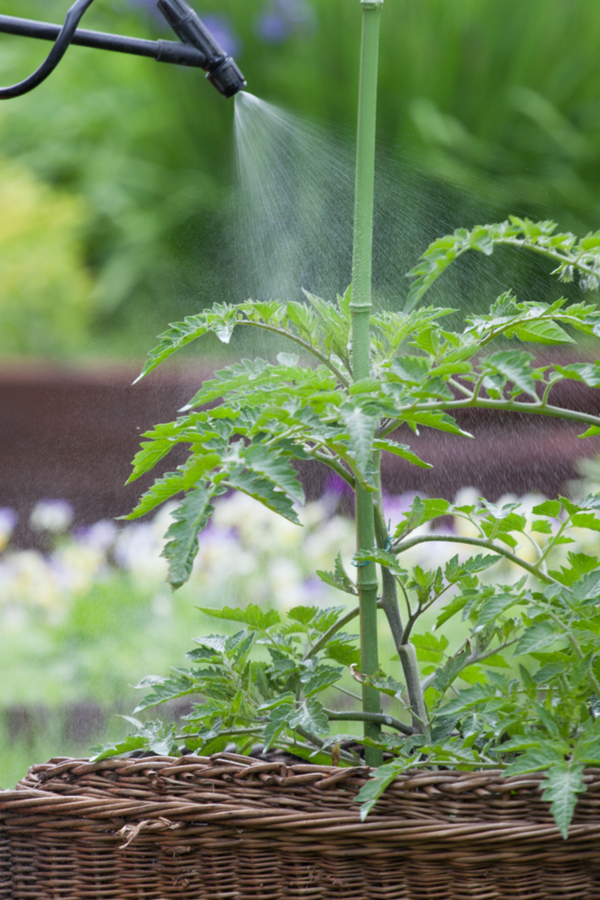 spraying water to stop aphids