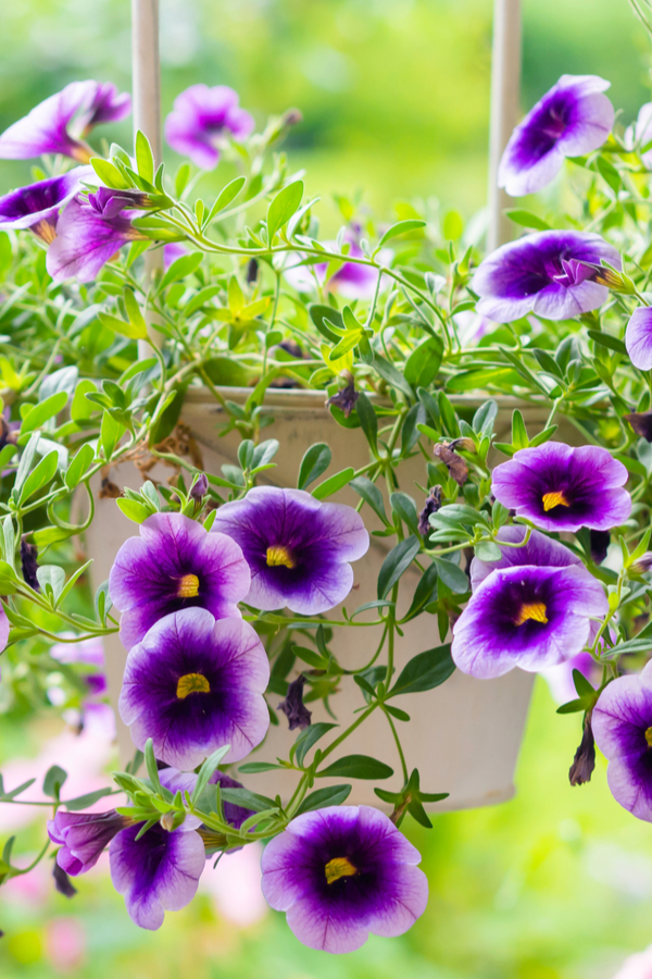 how to rejuvinate hanging baskets
