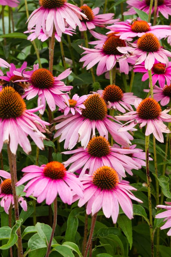 attracting pollinators - cone flowers