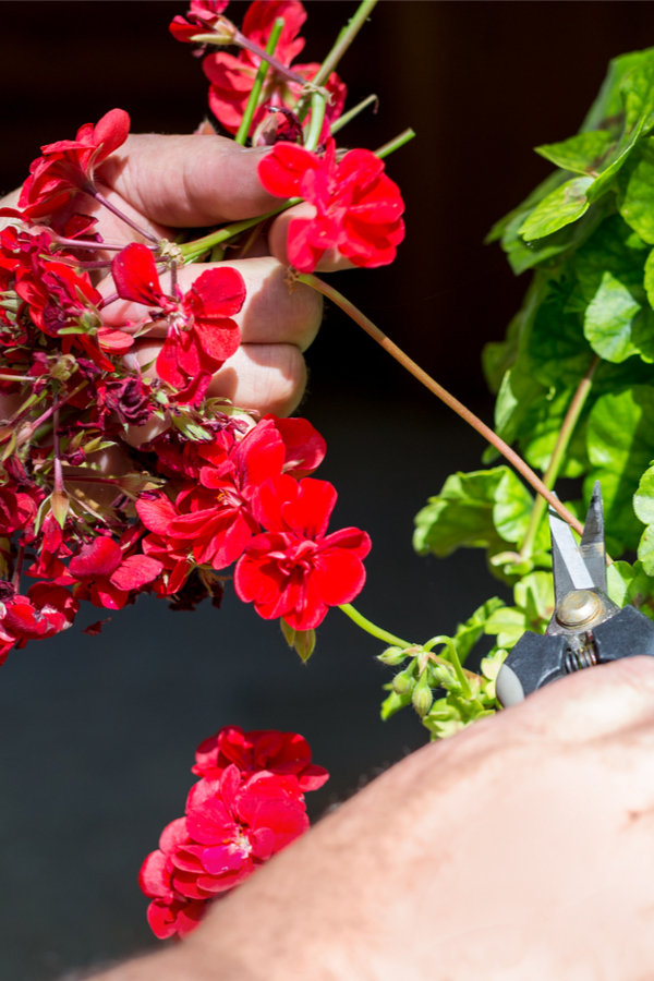 deadheading geraniums